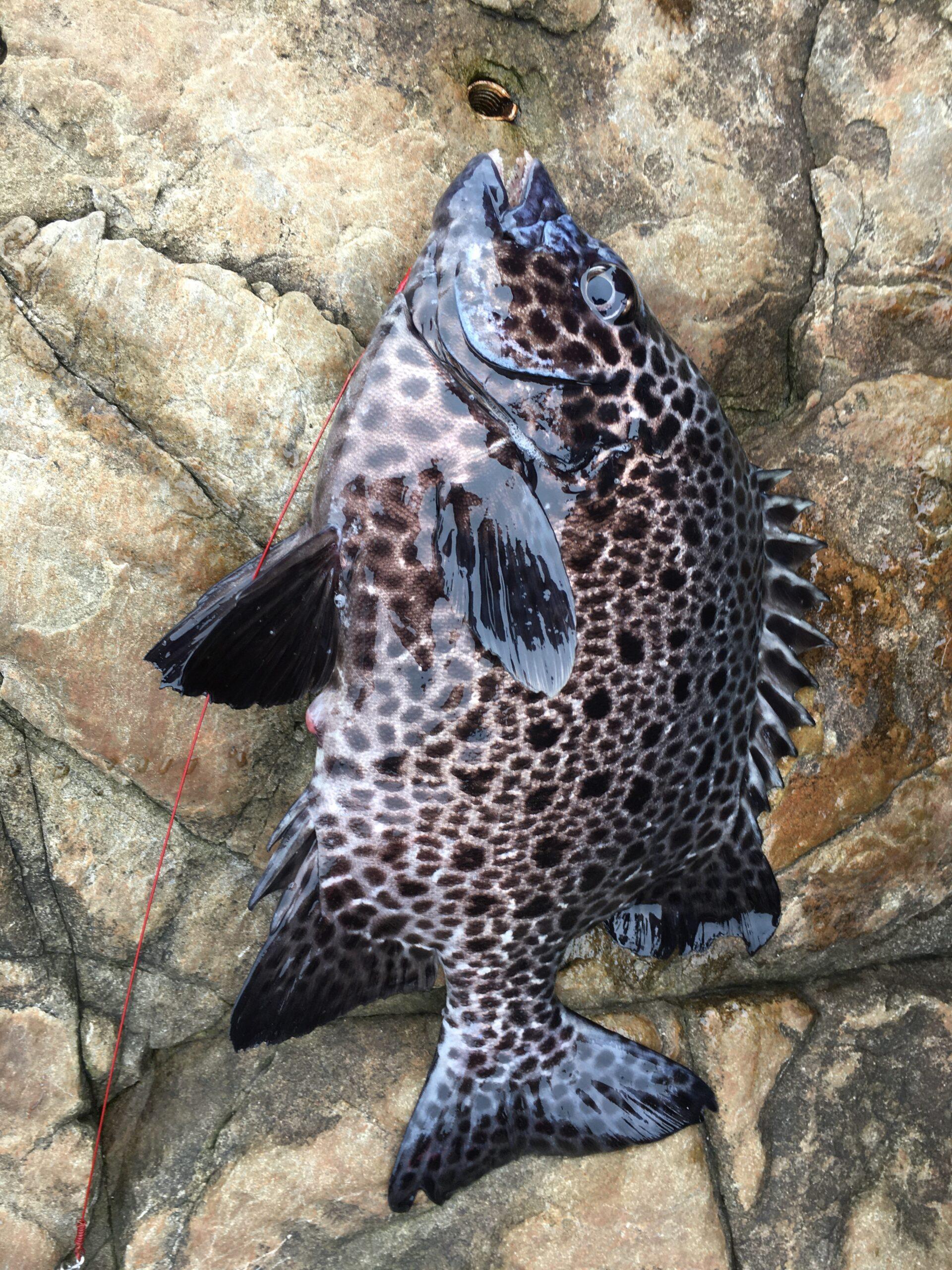 五島・福江の石鯛釣り〜置き竿にて数釣り