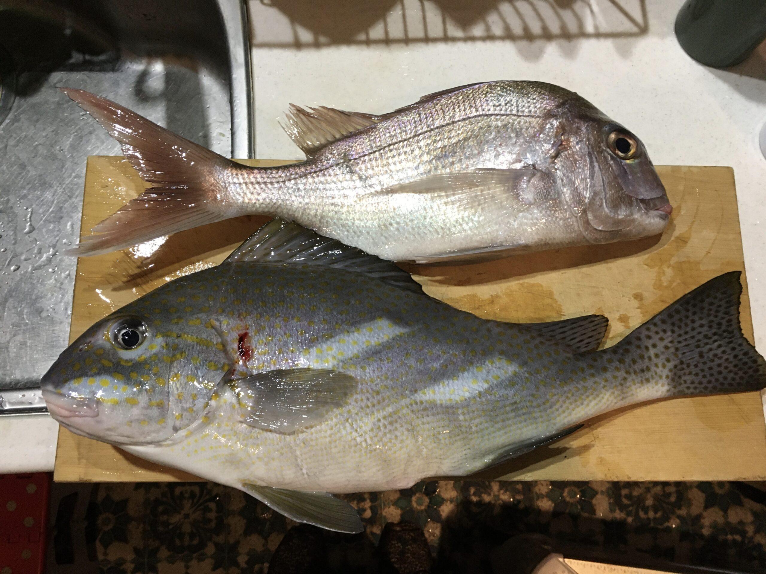 コロダイ「生臭さ」生かしてオーブン料理ー真鯛は生が美味しい 伊豆諸島・新島でカゴ釣りの釣果