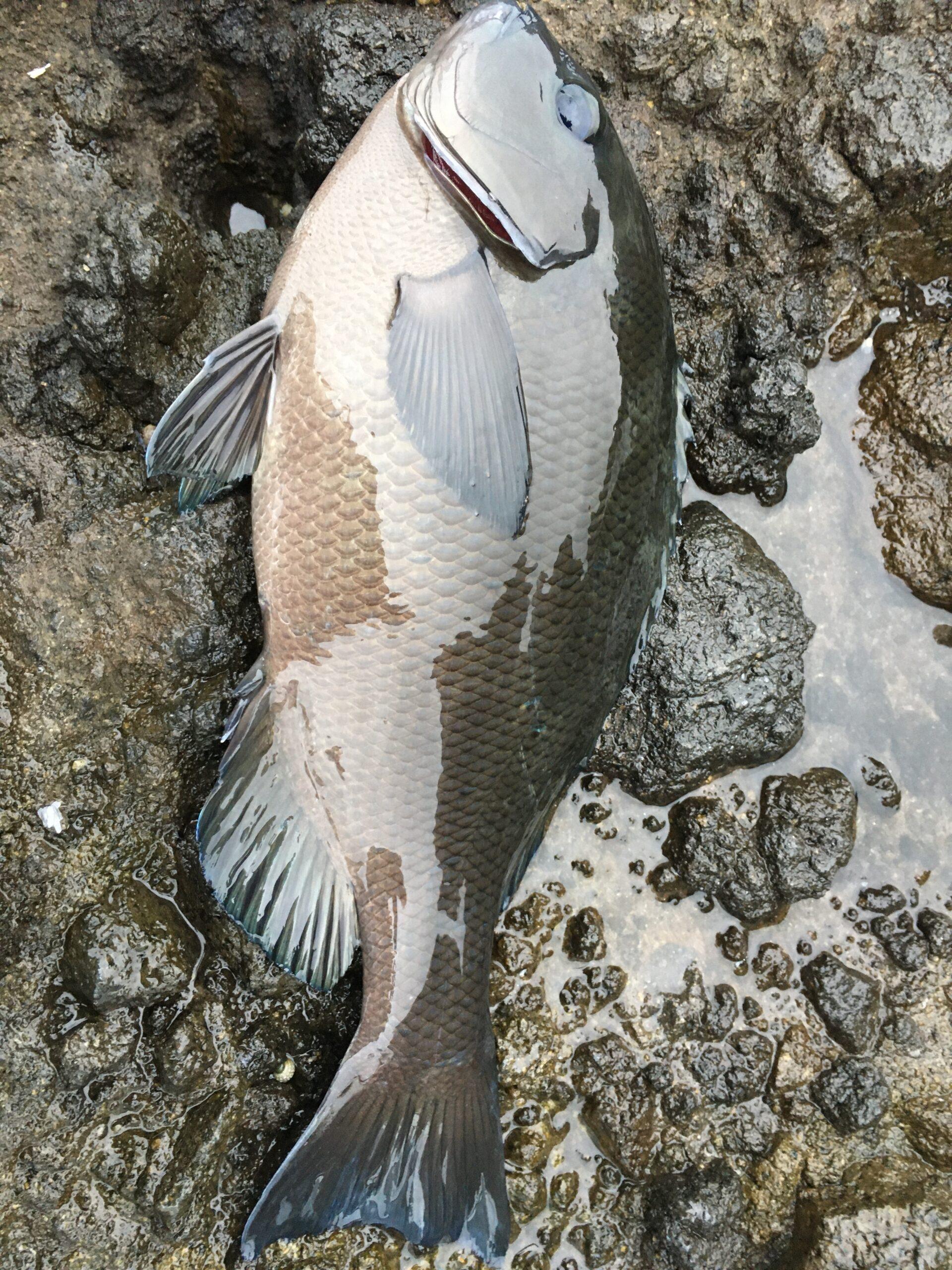 南伊豆・伊浜「丸島」にて底物釣り その2 上物釣りでグレ競技スペシャルⅢとⅣ比較しつつ